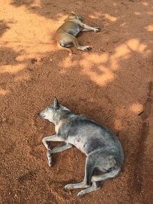 sigiriya-dogs
