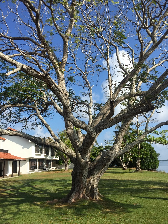 tree-in-negombo